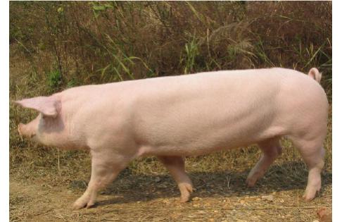 乐虎国际维一官网种猪场种猪简介